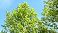 View of the crowns of the trees in the nature - look at the sky - sunny day Stock Footage