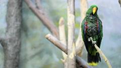 Eclectus parrot (Eclectus roratus) Stock Footage