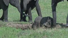 Elephant baby with adults around waterhole Stock Footage