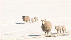 Sheep lambs walking cold snow white winter Stock Footage