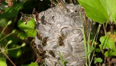 Wasps fly around the Vespiary and crawl on its surface Stock Footage