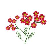 Blossoming of Red Yarrow Flowers or Achillea Millefolium Flowers Stock Illustration