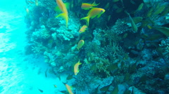 Sea Goldie fish in clear Red Sea water Egypt. Pseudanthias squamipinnis. Stock Footage