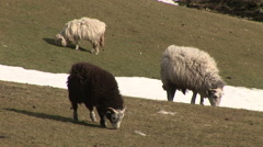 Black and white sheep eating grass in winter Stock Footage