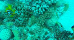 Clown Fish and Lion Fish in clear Red Sea water Egypt Stock Footage