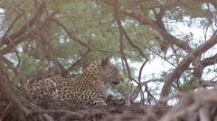 Leopard resting in a camel thorn tree in the Kalahari desert - stock footage