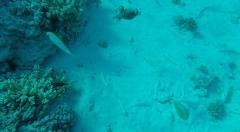 Arothron diadematus, Masked Puffer fish - Red Sea Egypt Stock Footage