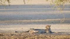 A cheetah resting after a kill - stock footage