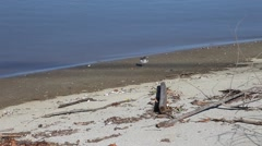 Shore bird searching for food. Stock Footage