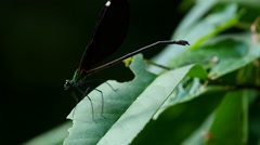 Damselfly chewing and flying around Stock Footage