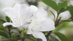 Small insect and white Azalea Stock Footage