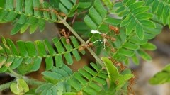 Weaver ants carry the material Stock Footage