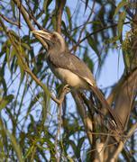Indian Grey Hornbill (Ocyceros Birostris) Stock Photos