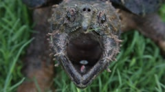 Alligator Snapping Turtle with open mouth Stock Footage