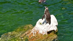 Solitary Magellanic Penguin On A Rock Surrounded By Water Stock Footage