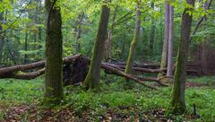 Old alder natural stand of Bialowieza Forest in summer with broken ash tree d Stock Photos