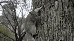adorable paranoid squirrel hanging out on tree in Washington Square Park 1080 HD - stock footage
