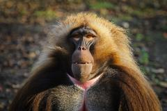 Portrait of an adult male gelada baboon at the zoo, Germany - stock photo