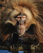 Portrait of an adult male gelada baboon at the zoo, Germany Kuvituskuvat