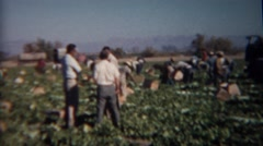 1952: Owners discussing strategy while workers harvest vegetables crops. BAKER, Stock Footage