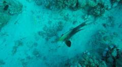 Reef fish and corals - Scuba Diving in clear Red Sea water Egypt - stock footage