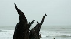 Crows, Driftwood, Coast. Beach, Storm Stock Footage
