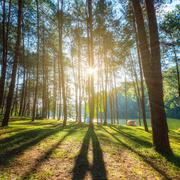larch forest with sunlight and shadows at sunrise. - stock photo