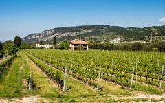 Vine growing close to Lake Garda, Italy. - stock photo