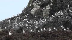 Seagulls of ALASKA  - natural habitat Stock Footage