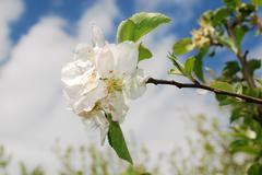 Spring Blossom on Apple Tree - stock photo