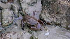 Stock Video Footage of Closeup view of a brown crab