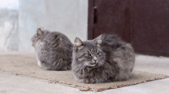 Two whiskered gray cat waiting for their owners Stock Footage