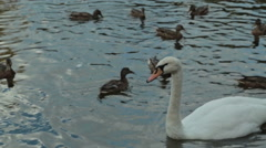 Swan with ducks swimming in the water, feeding Stock Footage