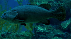 Big fish is swimming in deep water - stock footage
