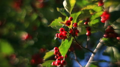 Hawthorn branch with leaves and red berries on unusual defocused background Stock Footage