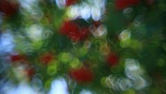 Vertical panorama of defocused green foliage and red berries of rowan tree - stock footage