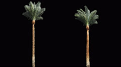 2 blowing on the wind long green full size real tropical palm trees - stock footage