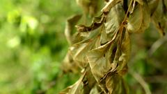 View of the withered leaves on the branch of the tree in the garden - macro Stock Footage