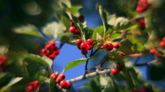 Fragrant sunlit hawthorn branch with green leaves and red berries - stock footage