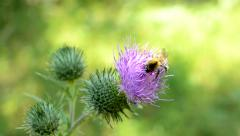 Bumblebee pollinates the thistle flower in the sunny garden Stock Footage