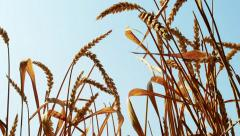 Detail of the ears of the wheat in the large field - breeze blows Stock Footage