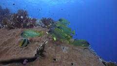 Colorful tropical fish over the coral reef -Black spotted sweetlips Stock Footage