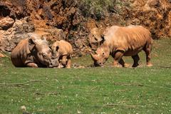 African rhinoceroses (Diceros bicornis minor) on the Masai Mara National Rese - stock photo