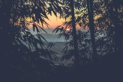 Sun setting through a Bamboo Forest Stock Photos