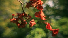 Amazing sunlit maple branch with autumn red dry leaves Stock Footage