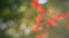Amazing diagonal panorama of fairy tale defocused tree with red leaves Stock Footage