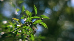 Fragrant sunlit hawthorn branch with green leaves and black berries - stock footage