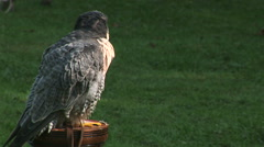 Peregrin falcon on post after flying display Stock Footage