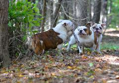 dogs playing outside - stock photo