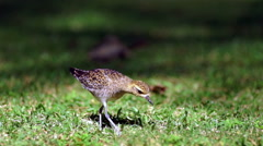 American Golden Plover Feeding Bird Finds Earthworm Stock Footage